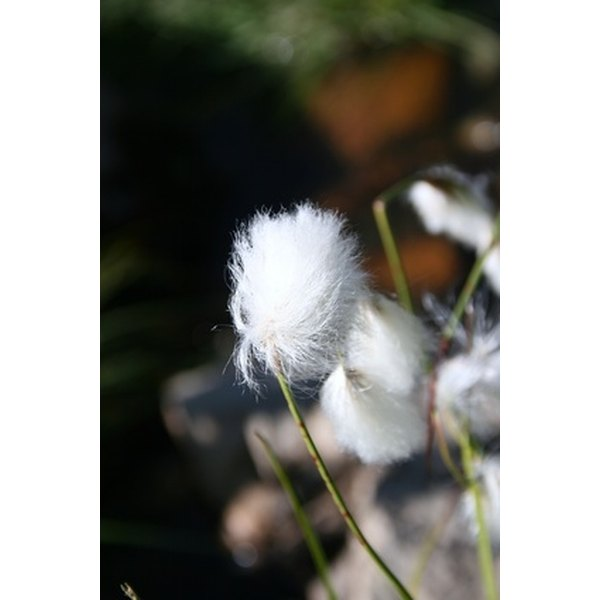 Raw cotton is used to make the world's principle fabric.