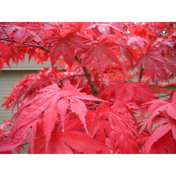 The Symbolism Of The Japanese Maple Tree Synonym
