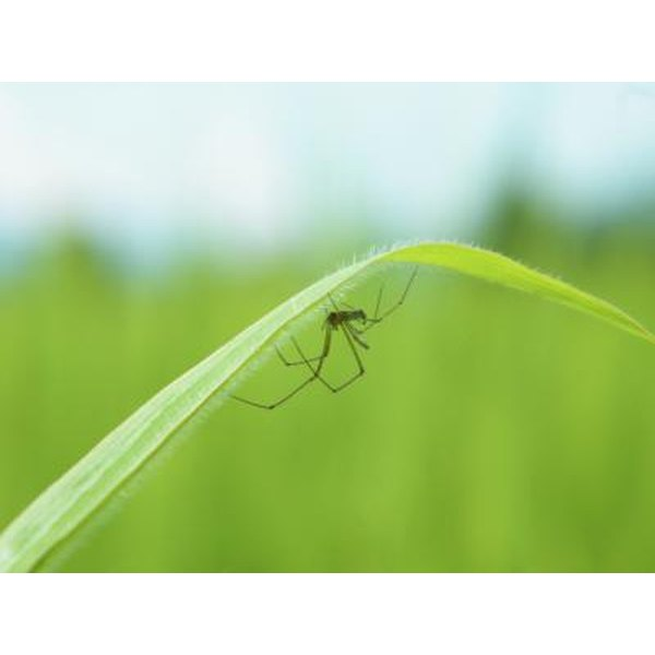 Spider resting under green grass blade