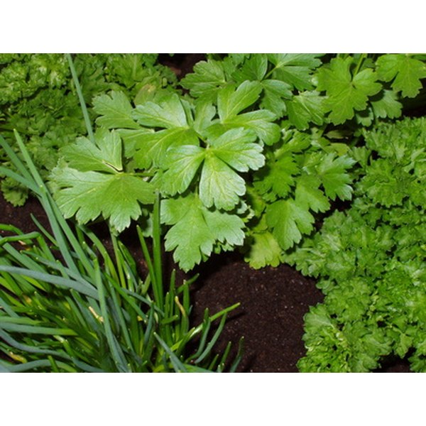 Some herbs may prove helpful in treating fungal infections.