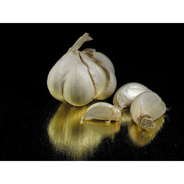 Garlic bulb contains a higher concentration of allicin than the plant's leaves.