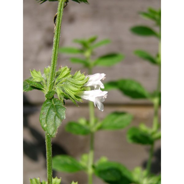 Use lemon balm tincture to improve your health.