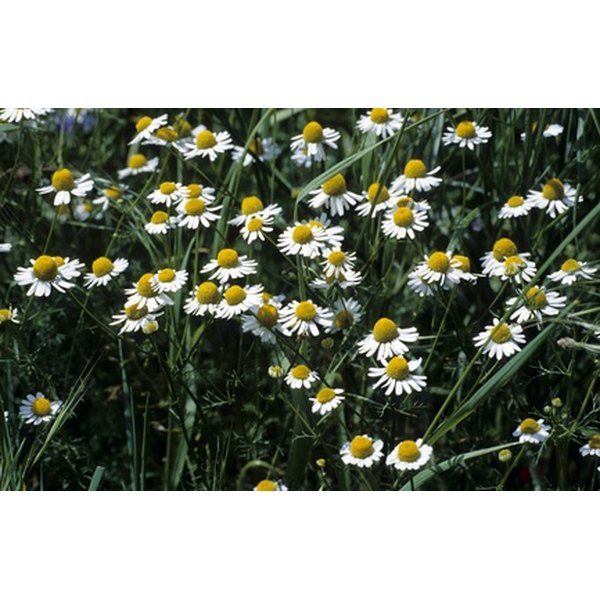 Chamomile may ease stress and improve digestion.