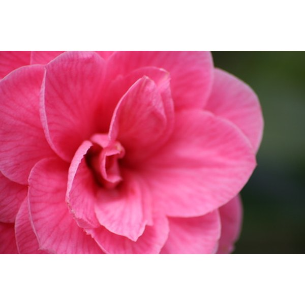 Oil from the camellia flower can leave hair shiny and healthy.