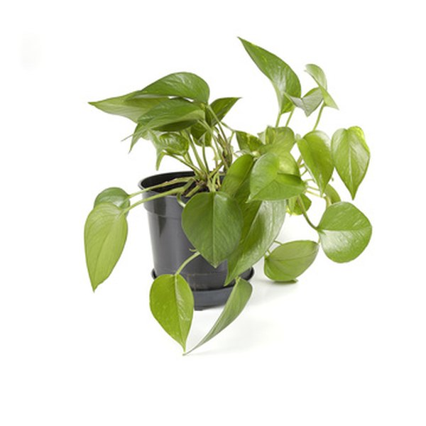 A philodendron is almost impossible to kill.