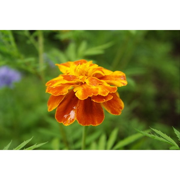 Marigold essential oil can help to get rid of white naturally.