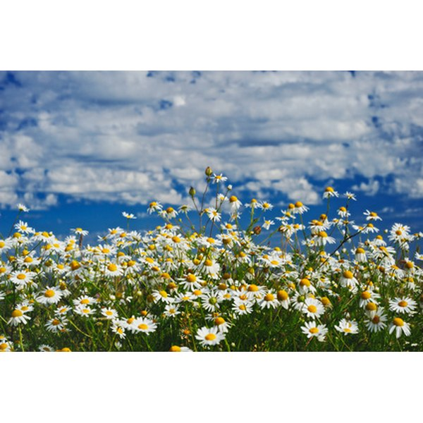 Chamomile is a soothing herb.