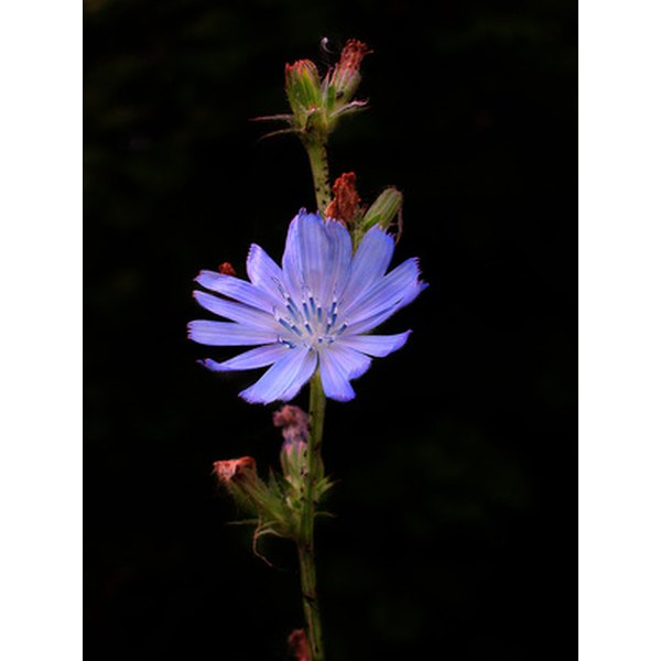 The chicory plant is a common roadside wildflower with sky-blue flowers.