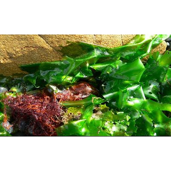 Seaweed is not just a plant in the ocean, it is a healthy vegetable.