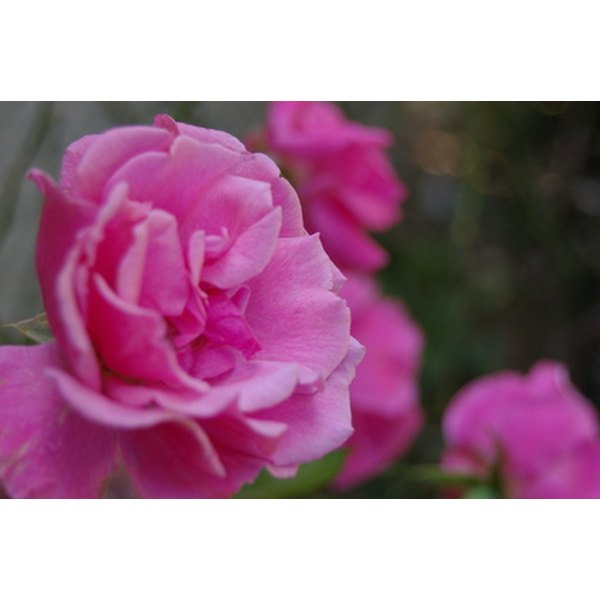 Rose water offers culinary and skin care benefits.