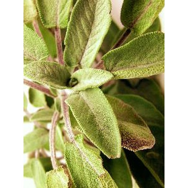 Sage has been used medicinally for centuries dating back to the Ancient Egyptians.