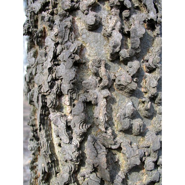 The bark of certain shrubs such as muira puama have medicinal properties.