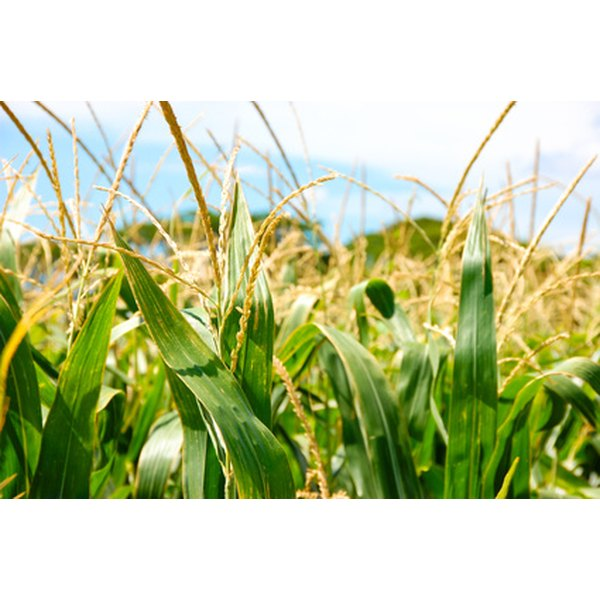 Genetically modified crops offer a variety of benefits.