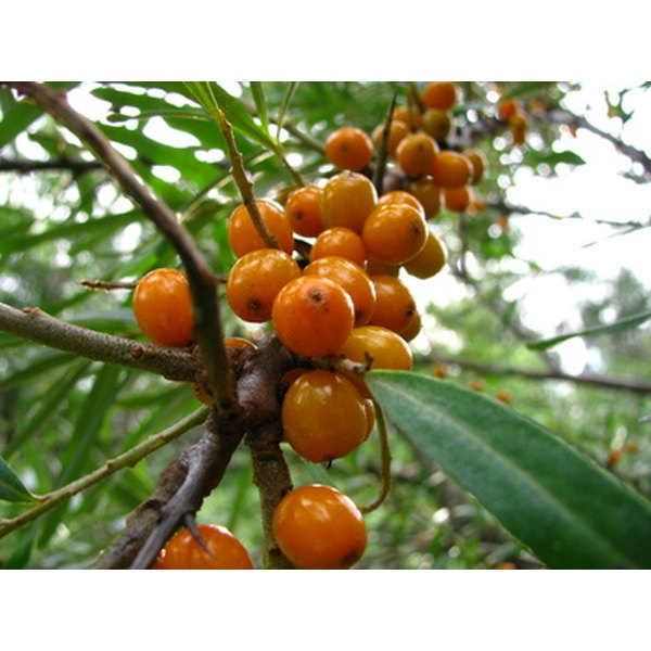 Sea buckthorn is a cold hardy and drought tolerant deciduous plant.