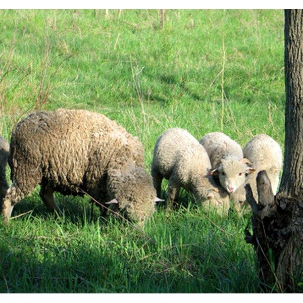 Sheep produce lanolin.