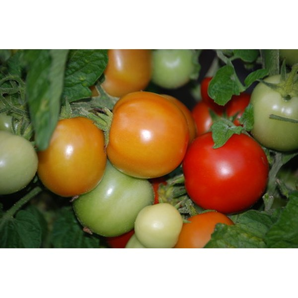 Tomato leaf essential oil can be used to help lighten black skin.