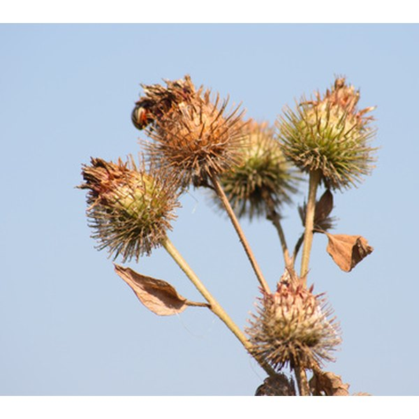 Burdock may help lower blood sugar levels in diabetics.