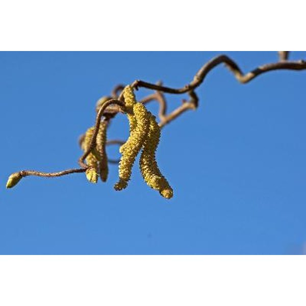 Witch hazel is a shrub with astringent and anti-inflammatory properties.