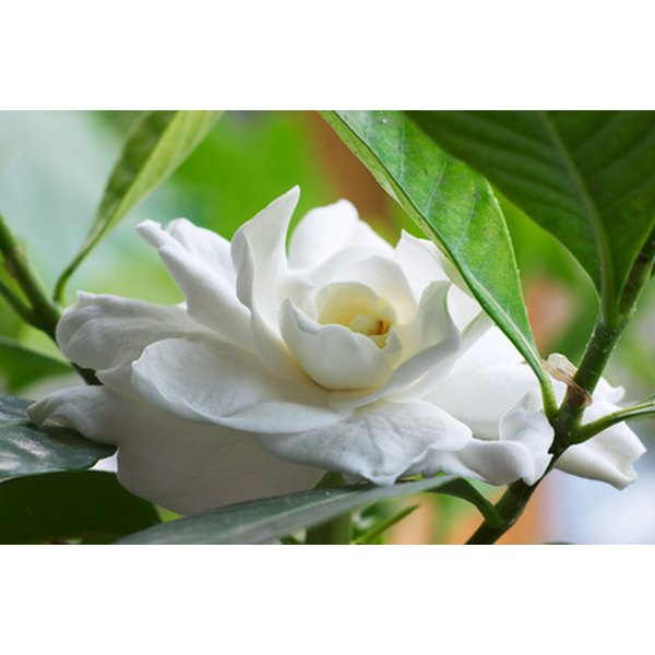 Gardenia is known to treat ailments stemming from deficient yin.