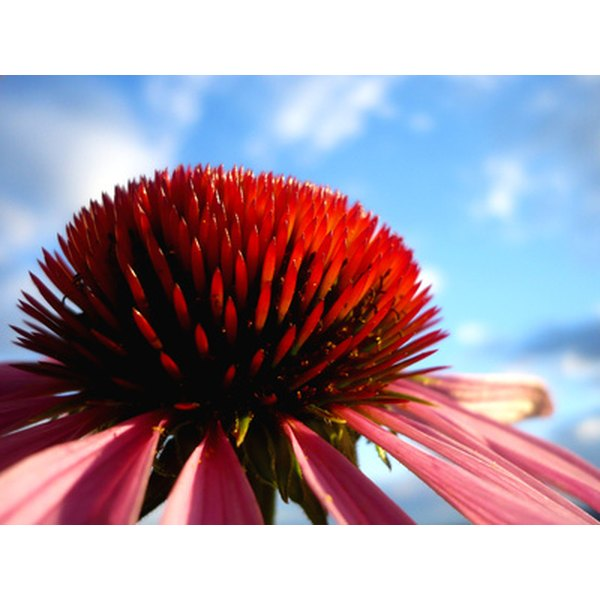 Echinacea and other natural remedies may be helpful in controlling MRSA infections.