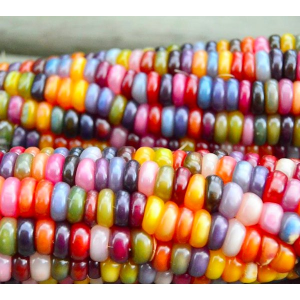 Rainbow corn is here to stay.