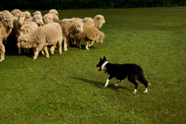 Herding dogs can be trained as puppies to be strong farm hands.
