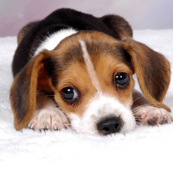 Train your beagle puppy with love and patience.