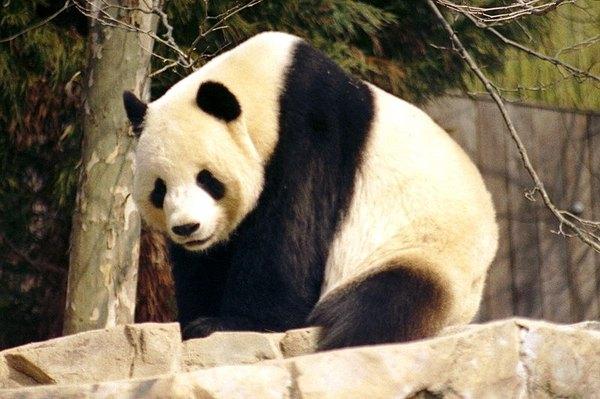 http://en.wikipedia.org/wiki/File:Giant_Panda_2004-03-2.jpg