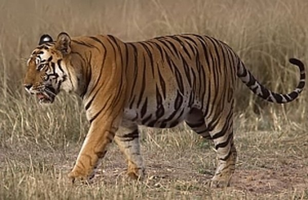 http://en.wikipedia.org/wiki/File:Tigerramki.jpg
