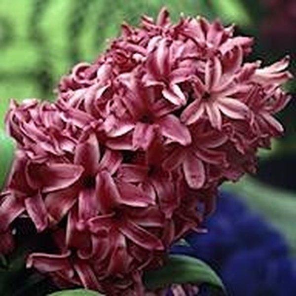Dutch Hyacinth