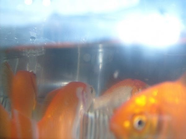 Fresh purchased goldfish, ready for their new home.