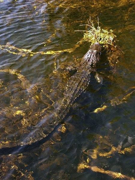 Alligator in Everglades National Park, gathering vegetation.