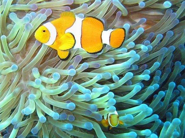 The clownfish, one of many oviparous fish.