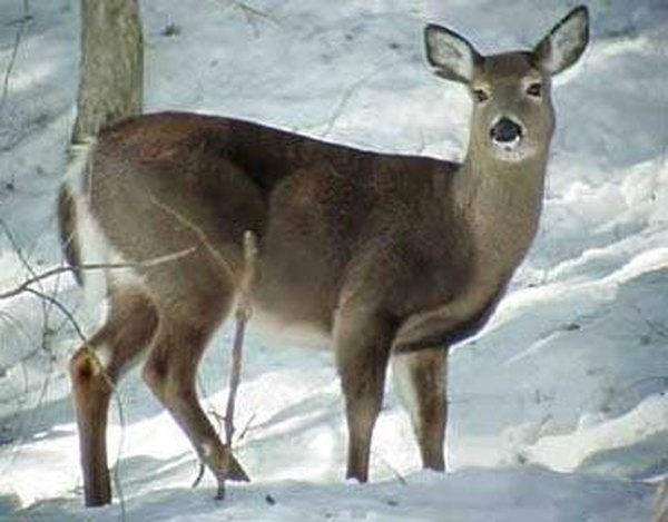 How Does a Deer Find Food?