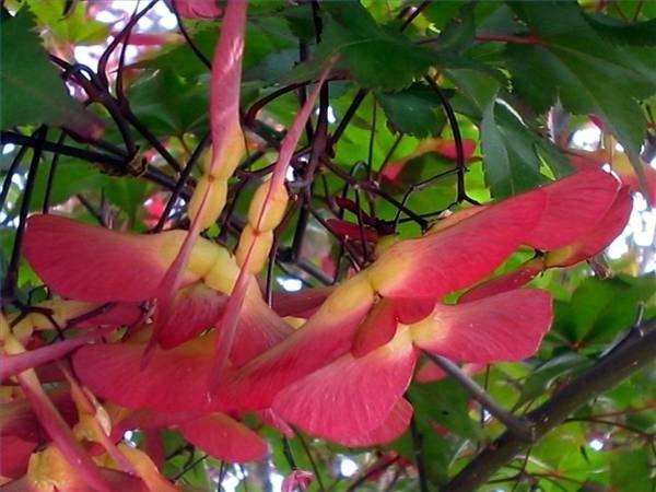 Red Maple Samaras (Photo by Audrey)
