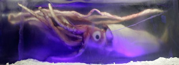 http://en.wikipedia.org/wiki/File:Giant_squid_melb_aquarium03.jpg