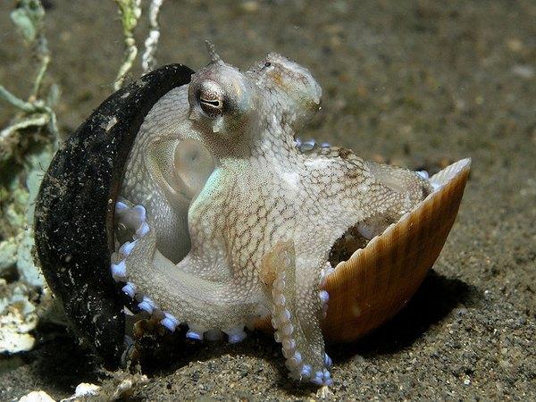 http://en.wikipedia.org/wiki/File:Octopus_shell.jpg