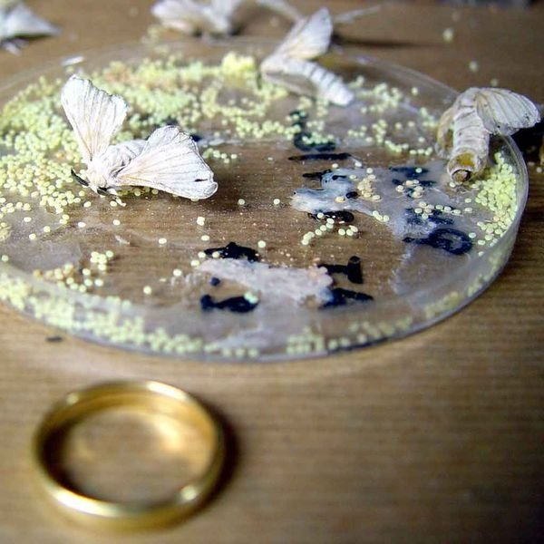 Silkworm moths laying eggs
