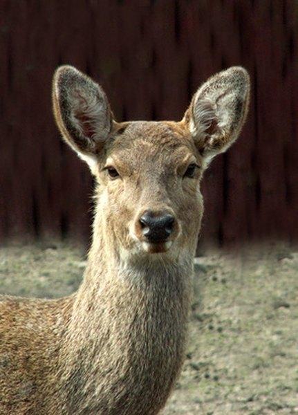 Homemade Deer Bait With Peanut Butter