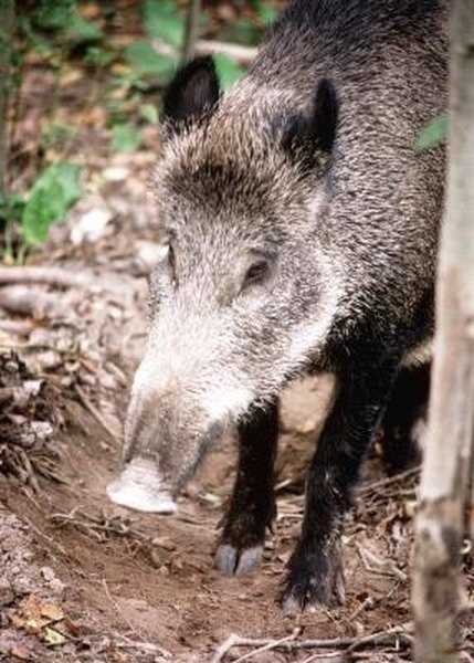 How to Tan Wild Boar Hides