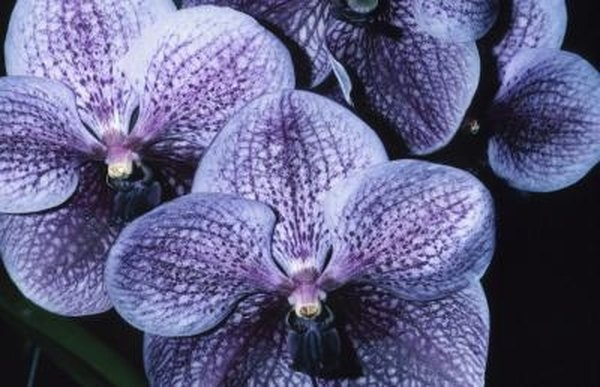 What Is The Name Of The Dark Blue Purple Orchid Garden Guides