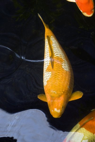 Prior to spawning the female koi will appear swollen around the abdomen.