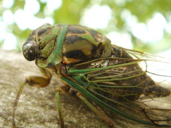 The cicada killer eats cicadas.