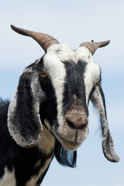 A Goat With a Cough & Clear Runny Nose | Animals - mom me