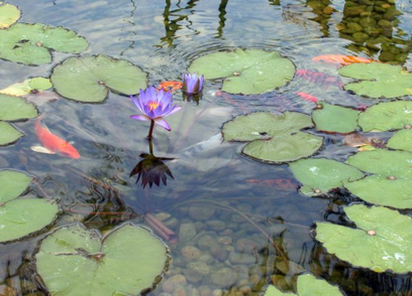 Koi fry are able to hide in rocks or vegetation.
