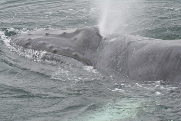 Giant whales eat almost microscopic krill and plankton.