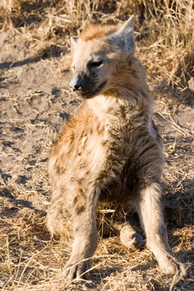 Striped hyenas resemble large dogs