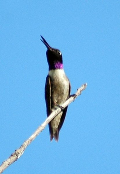 Hummingbird Species in the Pacific Northwest