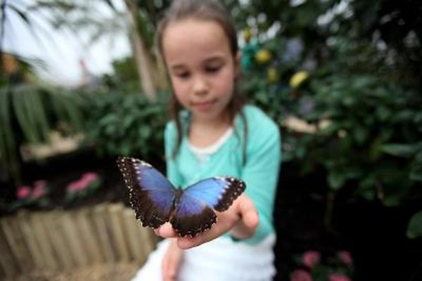 Blue Morpho sits on young girl's hand