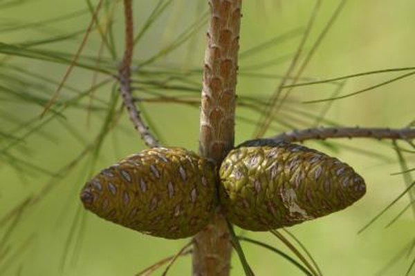 two pine cones growing on pine tree